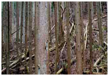 間伐材採用